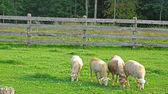 Sheep grazing in a meadow — Stock Photo