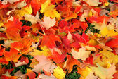 Orange and yellow maple leaves — Stock Photo