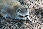 Raccoon scouring for food — Stock Photo