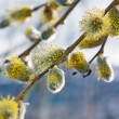 Stock Photo: Flowering willow branch.