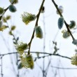 Branches of pussy willow in early spring. — Stock Photo
