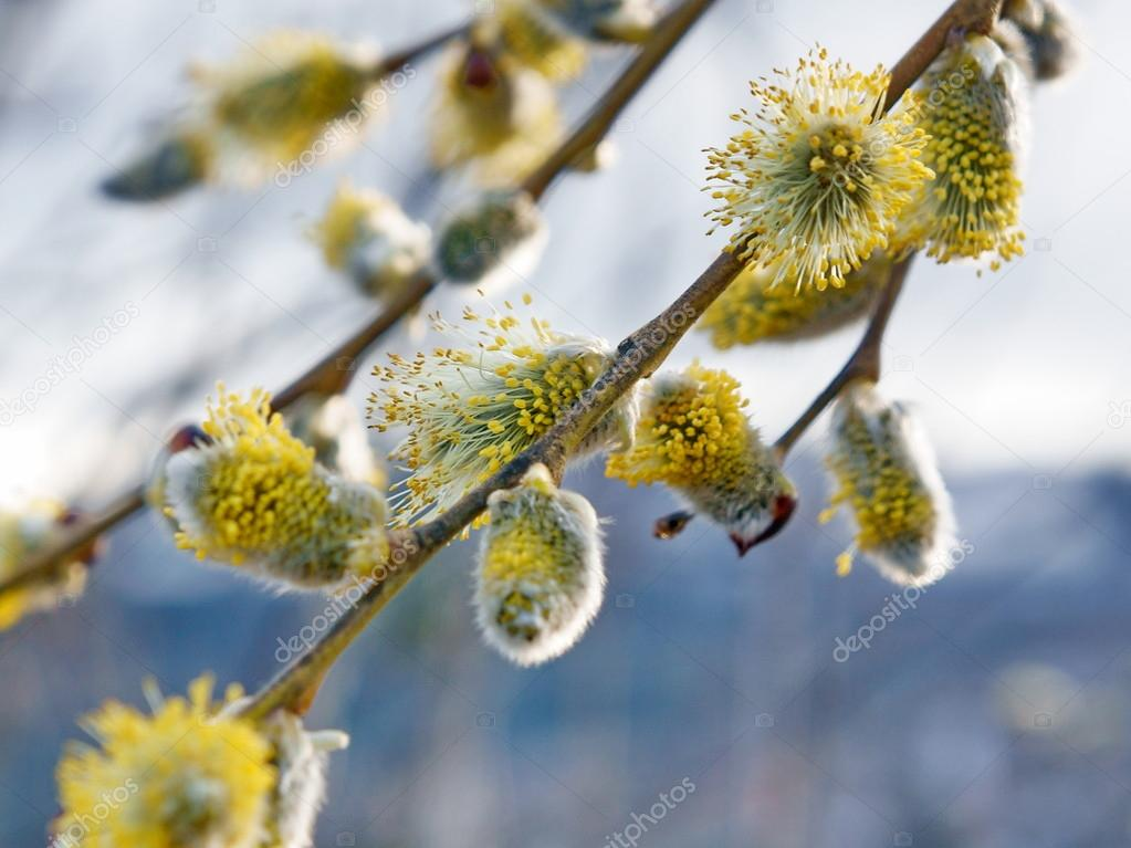 Flowering pussy willow branch in the early  of spring. Close-up.  Stock Photo #16335409
