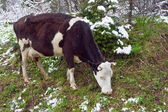 Cow is grazing in a snowy forest. — Stock Photo