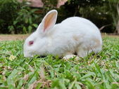 Rabbit eating grass on a green lawn. — Stock Photo
