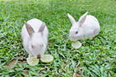 Two rabbits are eating cucumbers. — Stock Photo
