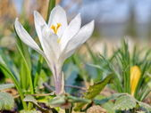 White Crocus of early spring. — Stock Photo