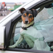 A dog looks out from the window of car. — Stock Photo