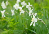 Group narcissus on a nature background. — Stock Photo