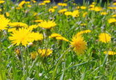 Dandelions in the grass in a sunny day. — Stock Photo