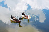 Ducks on the lake of chinese countryside — Stock Photo