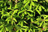 Brightly green prickly branches of a fir-tree — Stock Photo