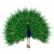 Peacock raise his feathers, vector — Imagen vectorial