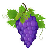 Bunch of a grapes, vector illustration — Stock Vector