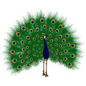 Peacock raise his feathers, vector — Stock Vector
