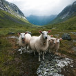 "Flock of sheep. Scandinavia, ""Troll's valley"" — Stock Photo"