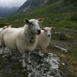 "Stock Photo: Flock of sheep. Scandinavia, ""Troll's valley"""