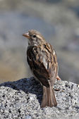 Sparrow on a rock looking back — Stock Photo