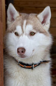 Siberian Husky dog breed — Stock Photo