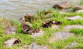 Family of ducks — Stock Photo