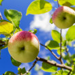 Stock Photo: Apples on branch