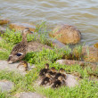 Stock Photo: Family of ducks