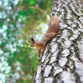 Funny squirrel — Stock Photo