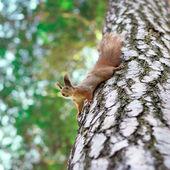 Funny squirrel — Stock Photo