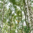 Birchwood in close-up — Stock Photo