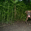 Brindle boxer dog walking at night - Stock Photo