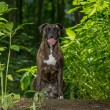 Alert boxer sitting amongst green foliage - Stock Photo