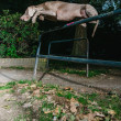 Stock Photo: Weimaraner jumping high barrier in park