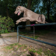 Weimaraner jumping a metal barrier — Stock Photo