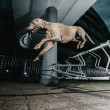 Weimaraner dog jumping mid air — Stock Photo #15346089