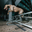 Weimaraner jumping metal railing — Stock Photo #15346095