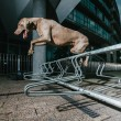 Stock Photo: Weimaraner jumping metal railing