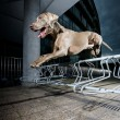 Stock Photo: Weimaraner jumping metal obstacle