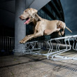 Weimaraner jumping metal obstacle — Stock Photo #15346101