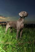 Wemaraner dog standing in profile — Stock Photo