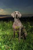 Weimaraner dog standing outdoors — Stock Photo