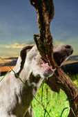 Wemaraner dog carrying a branch — Stock Photo