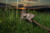 Weimaraner dog outdoors — Stock Photo