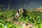 Weimaraner Dog laying outside — Stock Photo