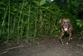 Brindle boxer dog walking at night — Stock Photo