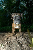 Boxer standing facing the camera — Stock Photo