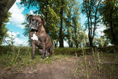 Boxer dog sitting in countryside — Stock Photo