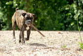 Boxer dog with stick — Stock Photo