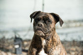 Wet sandy boxer at the beach — Stock Photo