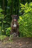 Alert boxer sitting amongst green foliage — Stock Photo