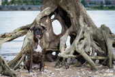 Boxer dog sitting in front of waterworn tree — Stock Photo