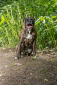 Alert boxer sitting in front of green foliage — Stock Photo